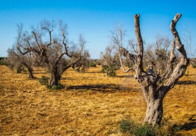 PSR e Xylella: altre 247 imprese olivicole colpite dalla batteriosi ammesse agli investimenti